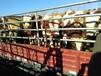 牛犊价格西门塔尔小牛犊价格