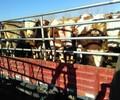小牛犊价格小牛犊多少钱肉牛牛犊价格
