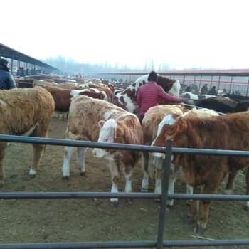 西门塔尔小牛犊价格