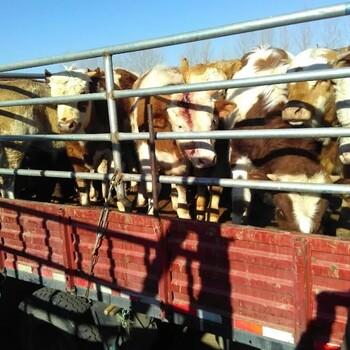 鲁西黄牛最新价格小牛犊真实价格