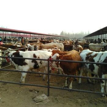 小牛犊的价格小牛犊价格
