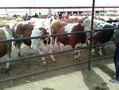 小牛犊肉牛价格小牛犊价格肉牛犊价格图片