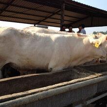 新疆小牛犊多少钱一斤¥牛犊多少钱斤图片