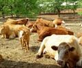 肉牛牛犊代购协议$云岭牛牛犊多少钱一头