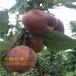 早酥红梨树苗哪里便宜红梨苗多少钱一棵