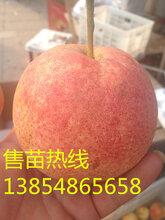 梨树新品种粉红香蜜梨晚熟品种口味香甜图片