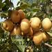 低价出售晚秋黄梨苗1-3公分梨树大量供应