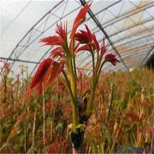 矮化香椿苗出售大棚香椿苗木易成活见效快图片