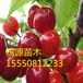 1公分以上大樱桃树苗美早樱桃苗批发价格