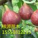 无花果树苗基地年出售无花果苗20万株1-3公分