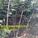 甜柿子树3-5公分柿子树绿化工程用柿子树