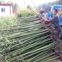 沭陽竹子價格淡竹價格報價