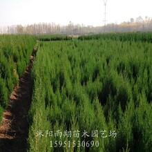 沭陽蜀檜價格60公分70公分80公分蜀檜基地價格報價