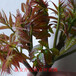 红油香椿苗哪里好山东泰安香椿苗基地批发低价批发香椿苗