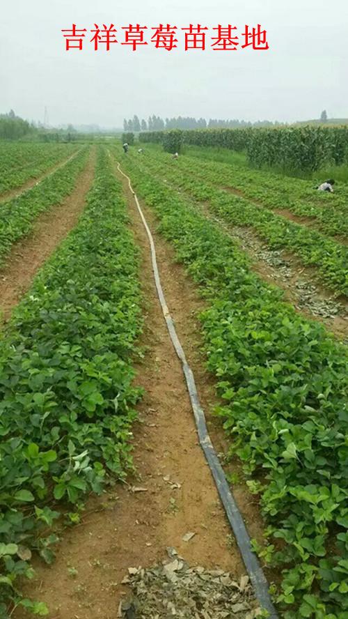 章姬草莓苗,哪里草莓苗便宜
