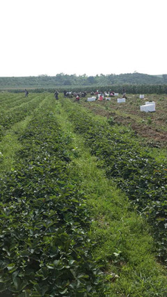 奶油草莓苗,哪里供应草莓苗