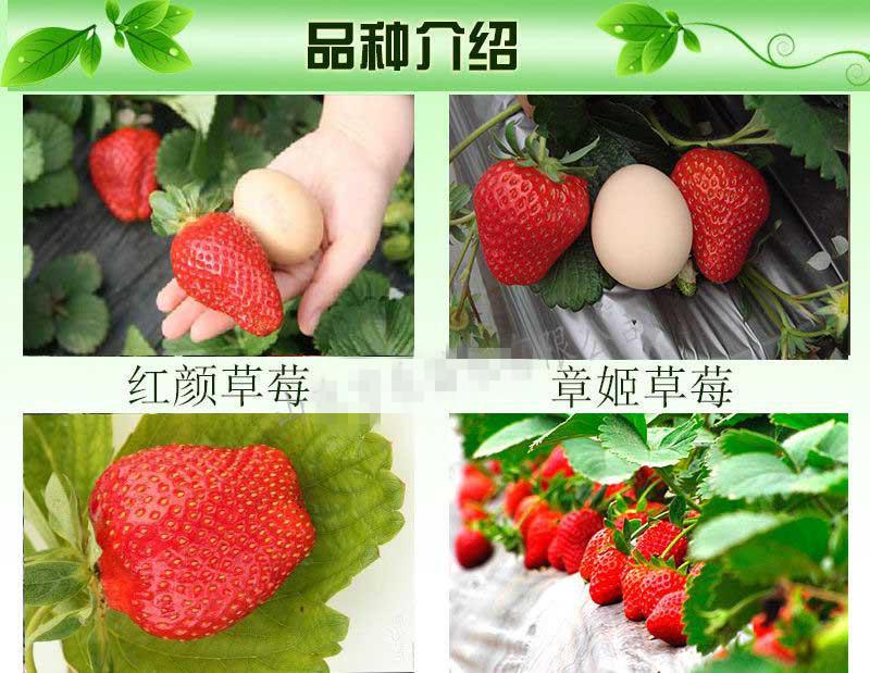甜查理草莓苗哪里有,草莓苗批发价格