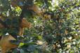 梨树苗晚秋黄梨树苗价格