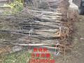 10公分核桃树,核桃树苗批发价格,山东核桃树图片