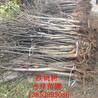 10公分核桃树,核桃树苗批发价格,山东核桃树