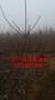 4公分核桃树,薄皮核桃树苗,哪里核桃苗品种好图片