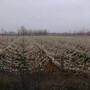 优质全红梨树苗基地1公分全红梨苗价格优惠保证纯度图片