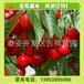 福晨品种樱桃苗哪里多,当年挂果福晨品种樱桃苗