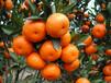 简阳一品供应优质嫁接柑橘苗