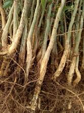 绿园苗圃皂角树苗,长沙工程绿化皂角苗功效与作用图片