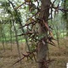 绿园苗圃皂角树苗,永州工程绿化苗苗木皂角苗基地图片