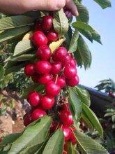 樱桃树、出售樱桃树、5公分、6公分、7公分、8公分樱桃树图片