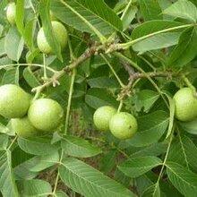 占地核桃樹價格!3公分-5公分-6公分-8-10-15公分核桃樹價格圖片