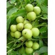 核桃树、出售核桃树、3公分、5公分、8公分、10公分核桃树图片