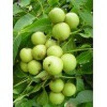 核桃樹、出售核桃樹、3公分、5公分、8公分、10公分核桃樹圖片