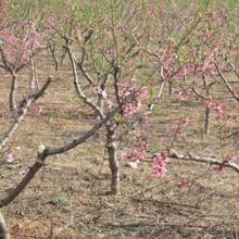 哪里出售桃树、哪里卖桃树、哪里有品种桃树、哪里桃树便宜图片