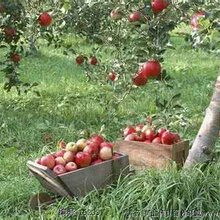 供应苹果树、苹果树批发价格、占地苹果树出售价格、各种规格苹果树批发报价图片