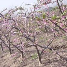 桃树哪里有卖的?5公分占地桃树产地价?5公分桃树多少钱一棵图片