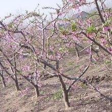 桃樹哪里有賣的?5公分占地桃樹產地價?5公分桃樹多少錢一棵圖片