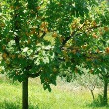 供应10公分杏树价格12公分杏树价格15公分杏树价格20公分杏树价格图片