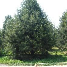 保定园林工程造型白皮松基地直销图片