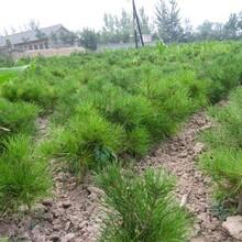 上海园林工程造型白皮松基地发货图片