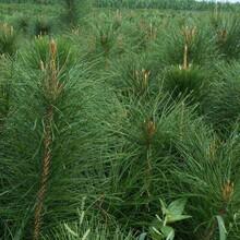 绿化类油松基地常年供应图片