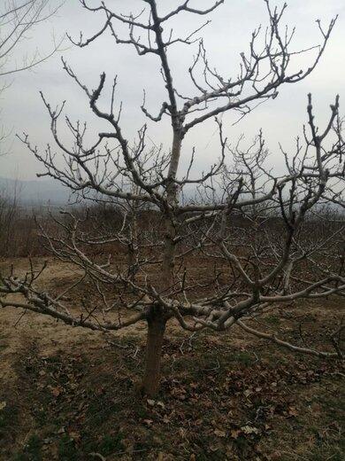 四川18公分山楂樹山楂樹價格原生山楂樹