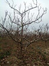 巴彥倬爾10公分山楂樹山楂樹價格原生山楂樹圖片