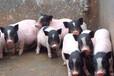 山东小香猪养殖场,藏香猪养殖技术,巴马香猪种猪价格