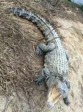 宠物鳄鱼养殖技术鳄鱼哪里有养殖场图片