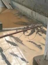 新余鳄鱼养殖场新余鳄鱼苗多少钱图片
