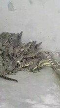 山西哪里有成品鳄鱼养殖的鳄鱼肉价格宠物鳄鱼图片