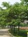 陕西哪里卖12公分合欢树的最新消息