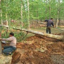银杏树便宜了、江苏产地20公分银杏树价格800元一棵、包挖包装车图片